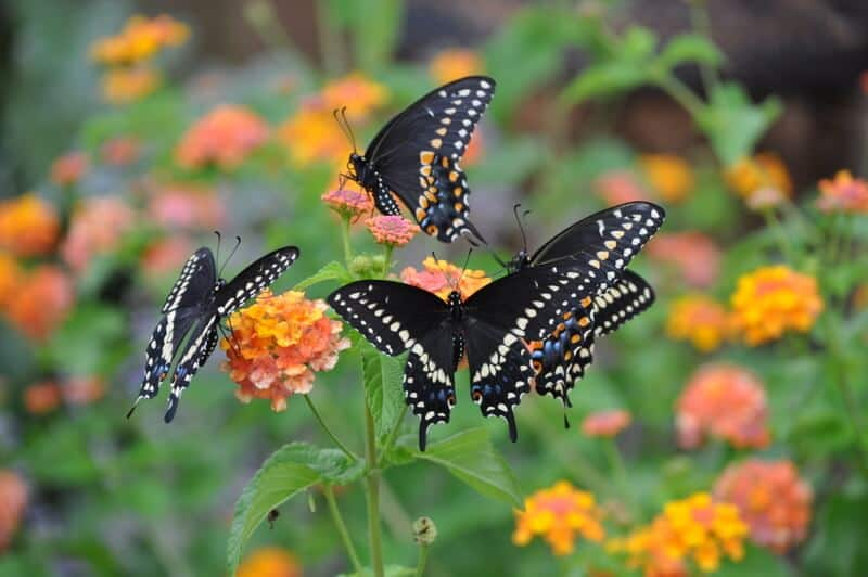 Attracting Butterflies To Your Garden Kristina Wolf Design – Plant a Butterfly Garden